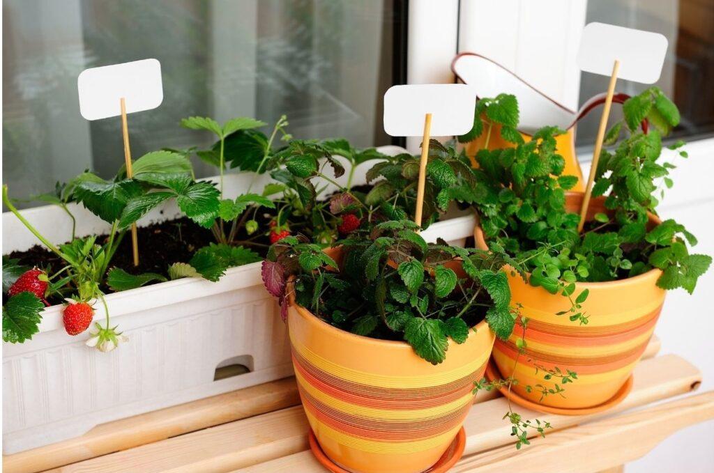 Coltivare fragole sul balcone e nell'orto