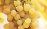 L'uva Grillo: il regalo del barone Mendola alla terra di Sicilia