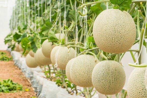 piante di meloni