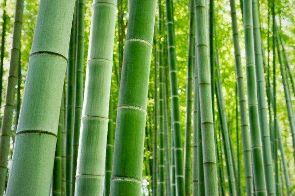Le foreste di bambù gigante